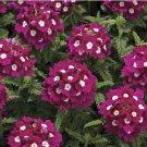 USA SELLER  Burgundy Ox-Eye Verbena 25 seeds