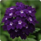 USA SELLER  Tuscuny violet Verbena 25 seeds