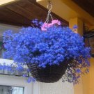 USA SELLER Ukrainian Blue Verbena 25 seeds