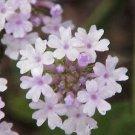 USA SELLER Brazilian Pale Pink Verbena 25 seeds