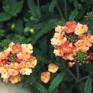 USA SELLER Peaches and Cream Verbena 50 seeds
