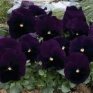 USA SELLER Inspire Purple Pansy 10 seeds seeds