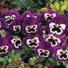 USA SELLER Inspire See  Me Pansy 10 seeds seeds