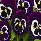 USA SELLER Viva LA Violet Pansy 10 seeds seeds