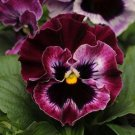 USA SELLER Frizzle Raspberry Pansy 10 seeds seeds