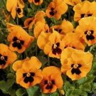 USA SELLER Flame Pansy 10 seeds seeds