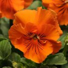 USA SELLER Frizzle Orange Pansy 10 seeds seeds