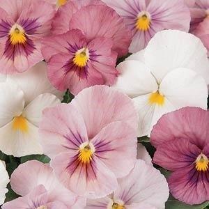 USA SELLER Panola Pink Shades Pansy 10 seeds seeds