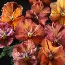 USA SELLER Chianti Mix Pansy 10 seeds seeds