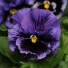 USA SELLER Frizzle Blue Pansy 10 seeds seeds