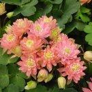 USA SELLER Aquilegia (Columbine) vulgaris Clementine Salmon Rose  10 seeds