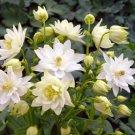 USA SELLER Aquilegia (Columbine) vulgaris Clementine White 10 seeds