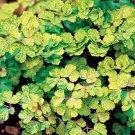 USA SELLER Aquilegia (Columbine) vulgaris Leprechaun Gold 10 seeds