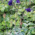 USA SELLER Aquilegia (Columbine) vulgaris Lime Frost 10 seeds