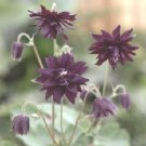 USA SELLER Aquilegia (Columbine) vulgaris Miss Huish 10 seeds
