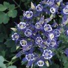 USA SELLER Aquilegia (Columbine) Winky Single Blue-White 10 seeds