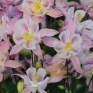 USA SELLER Aquilegia (Columbine) Winky Single Pink 10 seeds