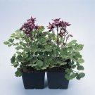 USA SELLER Winky Single Purple-White 10 seeds
