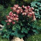 USA SELLER Aquilegia (Columbine) Winky Single Red-White 10 seeds