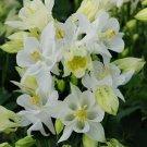 USA SELLER Aquilegia (Columbine) Winky Single White10 seeds