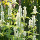 USA SELLER Giant Hyssop (Agastache Mexicana White) 100 seeds