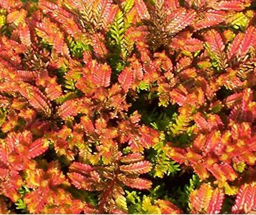 USA SELLER Firefly Heather (Calluna Vulgaris) 25  seeds