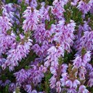 USA SELLER Scotch Heather (Calluna Vulgaris) 25  seeds