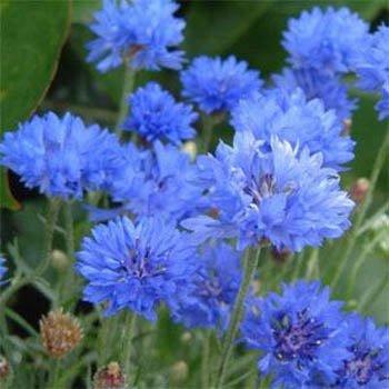 """USA SELLER Cornflower """"Batchelors Buttons"""" Blue 100  seeds"""