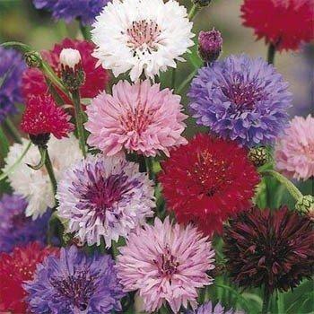 """USA SELLER Cornflower """"Batchelors Buttons"""" Mix 100  seeds"""