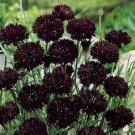 """USA SELLER Cornflower """"Batchelors Buttons"""" Black 100  seeds"""