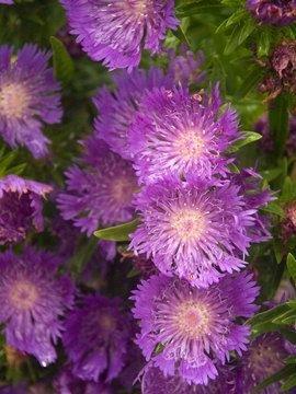 """USA SELLER Cornflower """"Batchelors Buttons"""" Mauve 100  seeds"""
