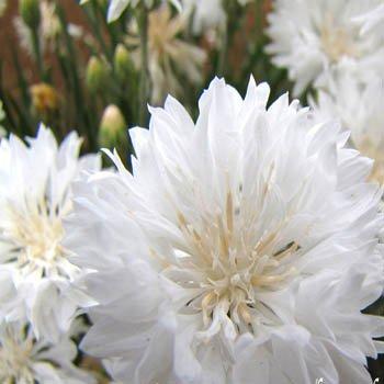 """USA SELLER Cornflower """"Batchelors Buttons"""" White 100  seeds"""