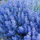USA SELLER Blue Cat Mint 50 seeds