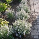 USA SELLER White Cat Mint 50 seeds