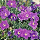 USA SELLER Nierembergia Purple Robe 50 seeds