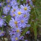 USA SELLER Sky Blue Aster 50 seeds