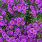 USA SELLER new England Aster 50 seeds