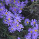 USA SELLER Bigelow Asters 50 seeds