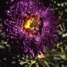 USA SELLER Tall Paeony Duchess Dark Blue Aster 15 seeds