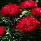 USA SELLER Tall Paeony Dwarf Milady Scarlet Aster 15 seeds