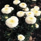 USA SELLER Tall Pompon White Aster15 seeds