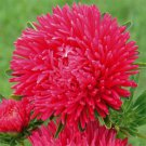 USA SELLER Tall Paeony Duchess Scarlet Aster 15 seeds