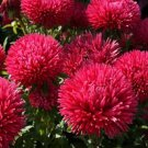 USA SELLER Tall Double Gremlin Red Aster 15 seeds