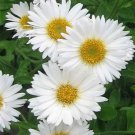 USA SELLER White Single Aster 15 seeds