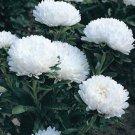 USA SELLER Dwarf Milady White Aster 15 seeds