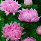 USA SELLER Tall Paeony Duchess Coral-rose Aster 15 seeds
