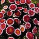 USA SELLER Tall Pompon Hi-no-maru Aster 15 seeds