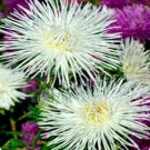 USA SELLER Tall Needle Unicom White Aster 15 seeds