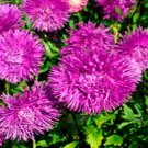 USA SELLER Tall Needle Unicom Violet Aster 15 seeds