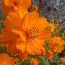 USA SELLER Cosmos Sulphureus orange 25 seeds